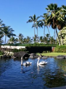 two birds swimming in Hawaii